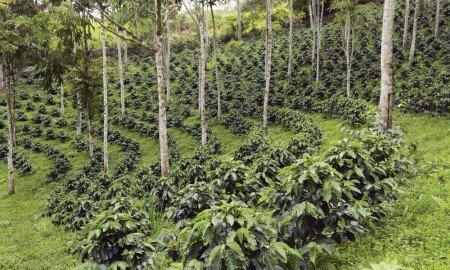 ecotierra   shade cofee