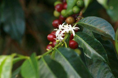 Coffee leaf rust resistant coffee variety overcome in Honduras