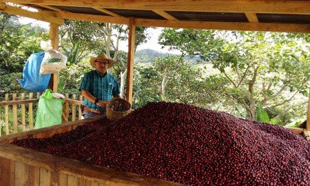 Hanna Neuschwander SanBlasCentroamericano small 450x270 - New rust-resistant coffee variety scores 90 points in Nicaragua Cup of Excellence competition