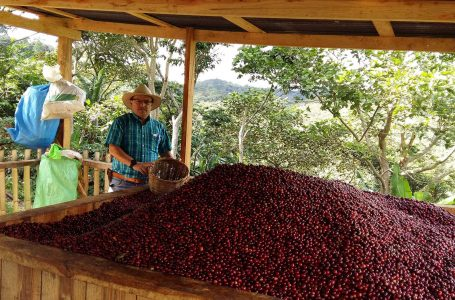 New rust-resistant coffee variety scores 90 points in Nicaragua Cup of Excellence competition