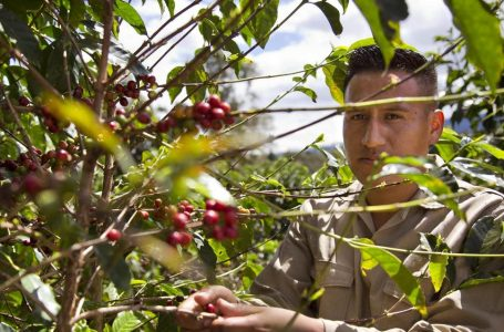 Not so robust robusta: Coffee species 'markedly' more sensitive to warming than previously thought