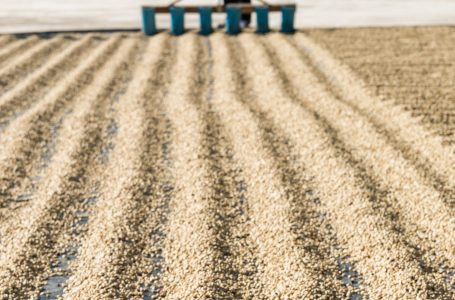 Avoiding a Bitter End for Coffee From Climate Change