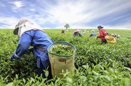Tea, Coffee Farmers Hail Munya's Sector Reforms