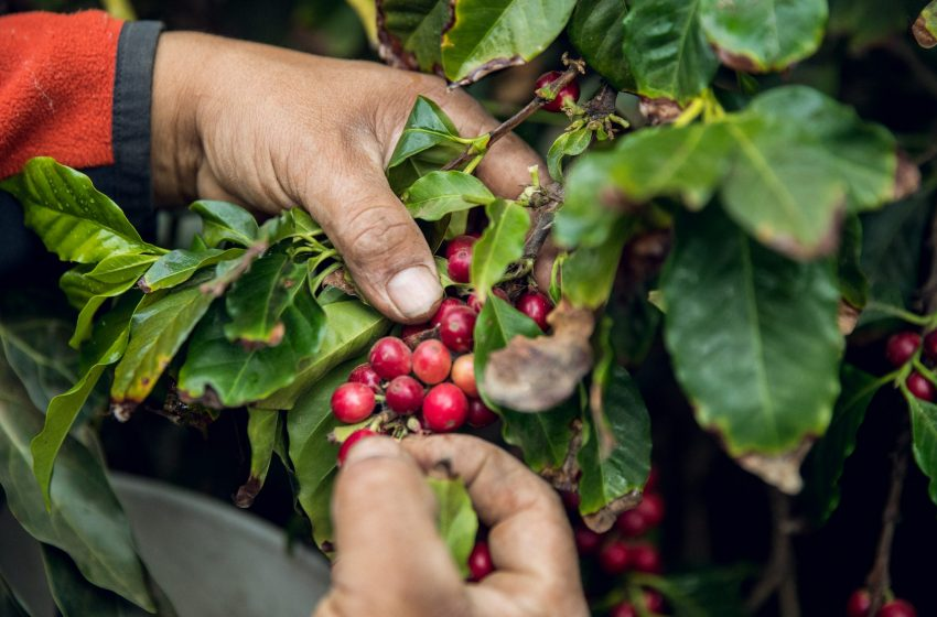Budget brings cheers to coffee growers