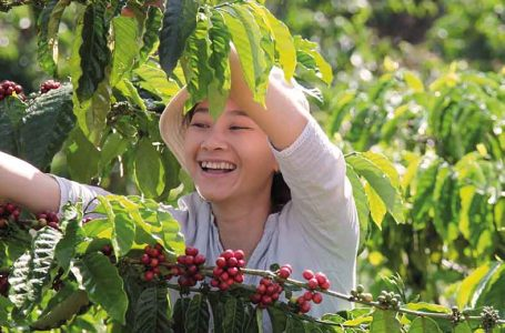 Agroforestry-grown coffee gives Amazon farmers a sustainable alternative