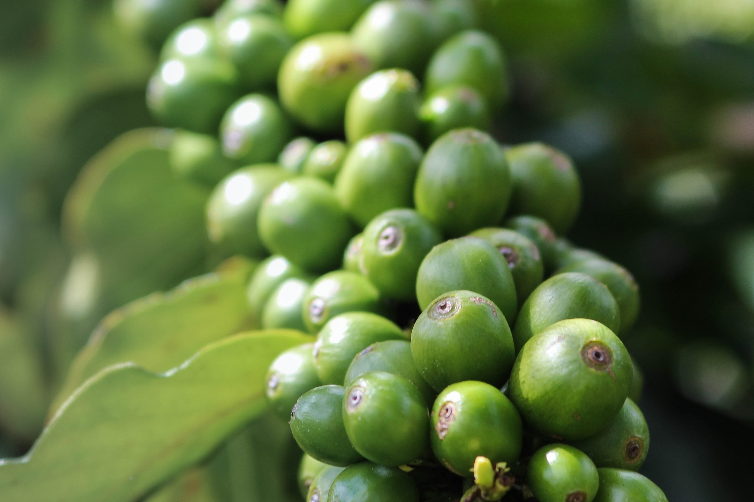 Lost' coffee plant can resist climate change and tastes just as good