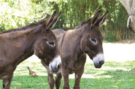 Bad Ass Coffee of Hawaii Partners with World's Largest Donkey Rescue