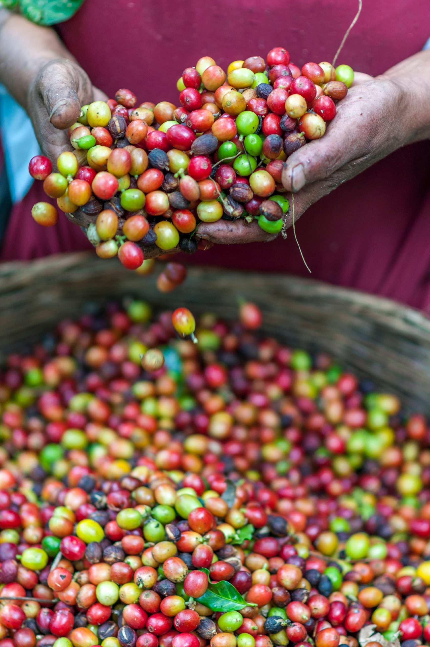 Biological Threats Loom Large for Local Coffee Farmers, Data Analysis Could Be the Answer