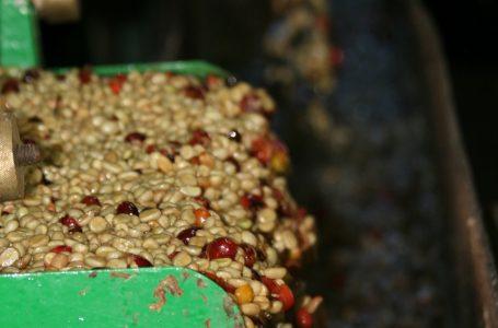 Robusta Coffee Hits 2017 High as Buyers Seek Exchange Stockpiles